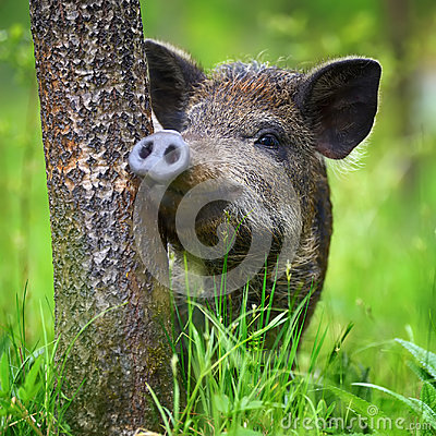 Free Wild Boar On The Forest Stock Photos - 98766283