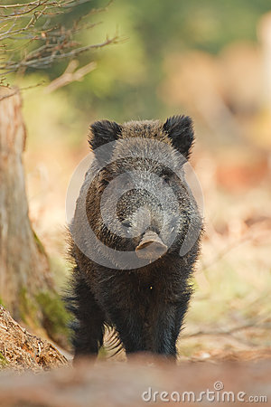 Wild boar with one eye