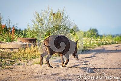 Wild boar on the path