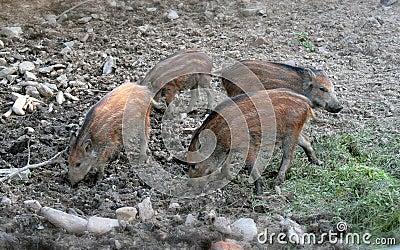 Wild boar - piglets