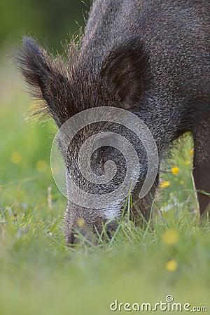 Wild Boar Portrait Stock Photo - Image: 55418815