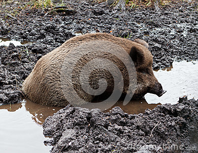 Wild Boar In puddle