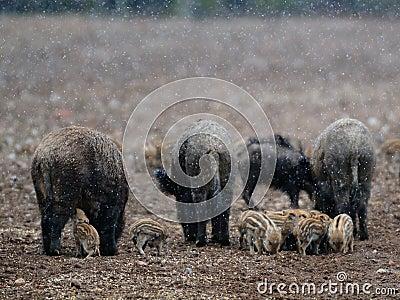 Wild-boar in snow