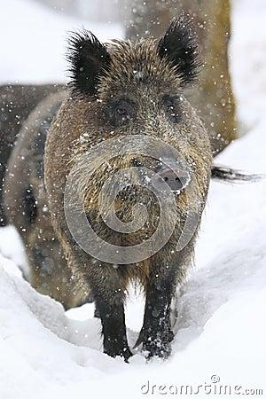 Wild boar in snowfall
