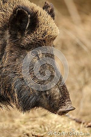 Free Wild Boar Sow Royalty Free Stock Photos - 30304928