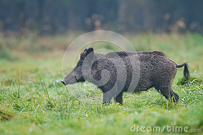 Wild boar sow in dew drenched grass