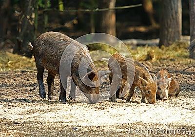 Wild Boar ( Sus scrofa )