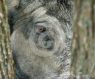Wild boar( Sus scrofa ).