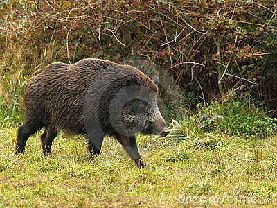 Wild boar before a thicket