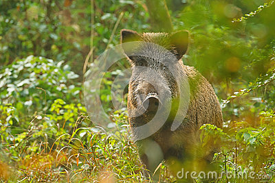 Wild boar through the trees