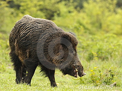 Wild boar with tusks