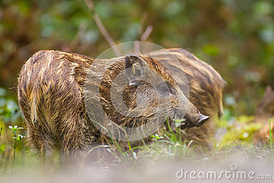 Wild boar young in long grass
