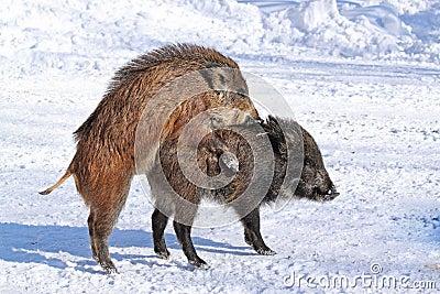 Wild-boars