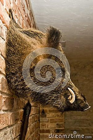 Free Wild Boars Head On Wall Royalty Free Stock Photos - 5556998