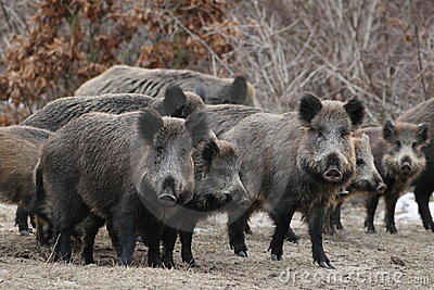 Wild boars on a opening