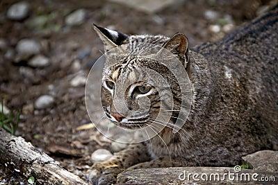 Wild Bobcat Lynx Rufus
