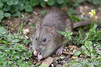 Wild Brown Rat