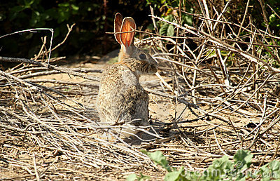 Wild brun kanin