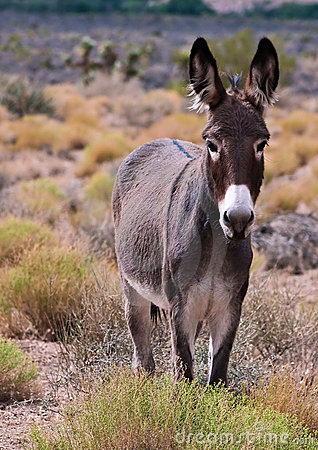 Free Wild Burro Royalty Free Stock Photography - 11110677