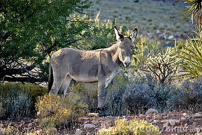 Wild Burro in the Desert