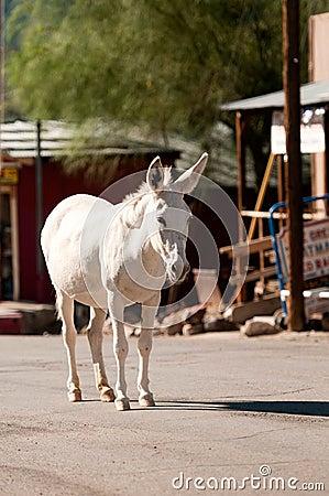 Wild Burro in Oatman, Arizona