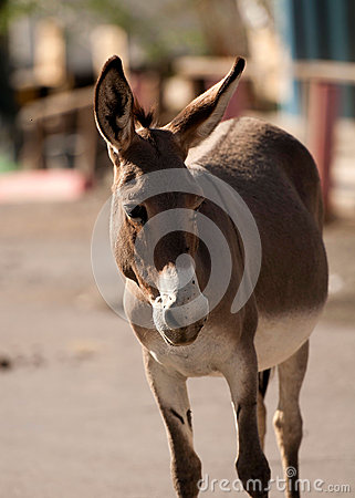 Wild Burro in Oatman, Arizona