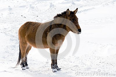 Wild Burro in the winter