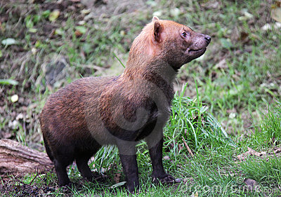 Wild Bush Dog standing in woods