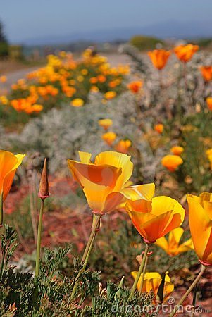 Wild California Poppies, the State s flower