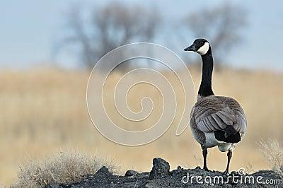Wild Canada Goose