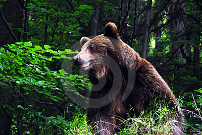 Wild carpathian brown bear