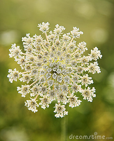 Free Wild Carrot Flower. Royalty Free Stock Photography - 2042047