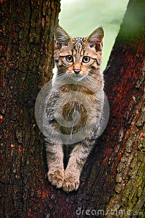 Free Wild Cat, Felis Silvestris, Animal In The Nature Tree Forest Habitat, Central Europe Royalty Free Stock Images - 67940869