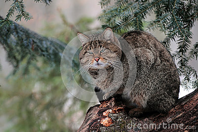 A Wild cat male stand on a tree in a forest of Maramures mountains.