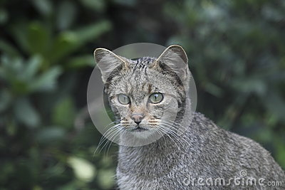 Wild cat in wildlife park