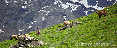 Wild chamois on alps
