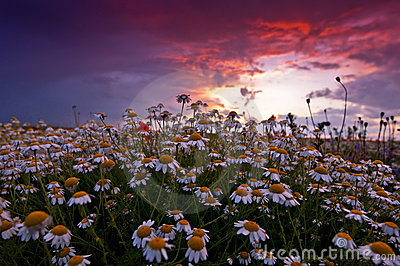 Wild chamomile field and red sunset