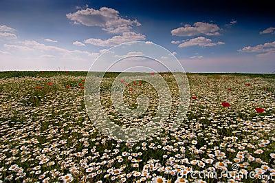 Wild chamomile Matricaria chamomilla field