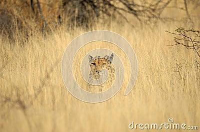 Wild cheetah in grass