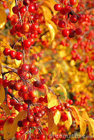 Wild cherry in fall