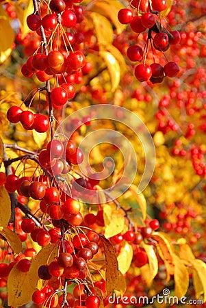 Wild cherry in fall