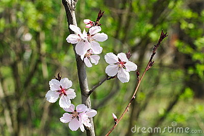 Wild Cherry Flowers 2