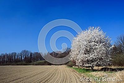 Wild cherry wood