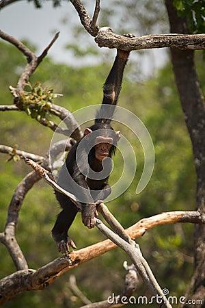 Wild chimp