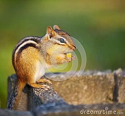 Free Wild Chipmunk Eating Nut Stock Photo - 23718770