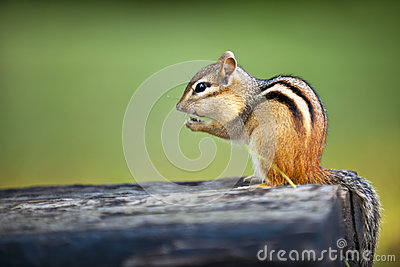 Wild chipmunk eating nut
