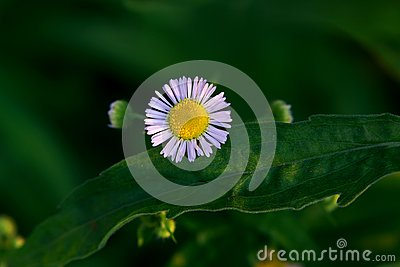 Wild chrysanthemum