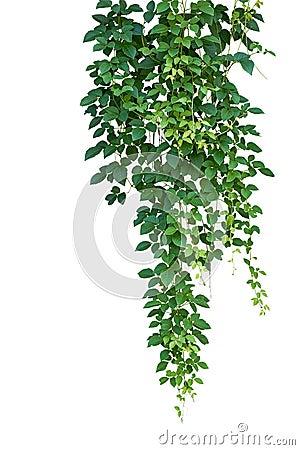 Free Wild Climbing Vine, Cayratia Trifolia (Linn.) Domin. Isolated On Stock Photos - 78474703