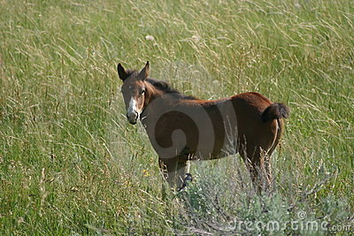 Wild Colt in North Dakota