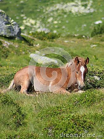 Wild colt resting